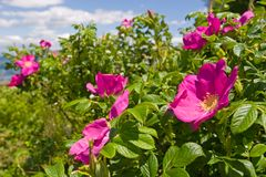 #2 rose sauvage Photos stock