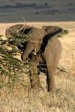 2 słonia Zdjęcie Stock
