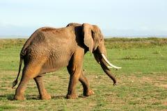 2 słonia Obrazy Stock
