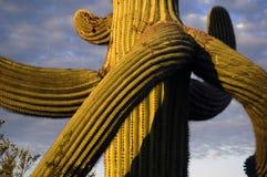 2 saguaro Zdjęcia Stock