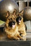 2 Schäferhunde Stockbilder