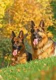 2 Schäferhunde Lizenzfreies Stockfoto