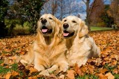 2 schöne goldene Apportierhunde auf Herbstblättern lizenzfreie stockfotos