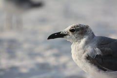 2 seagull Zdjęcie Stock