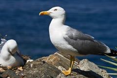 2 seagull fotografia stock