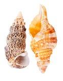 2 seashells Стоковые Фотографии RF