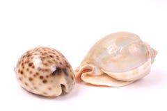 2 seashells photos libres de droits