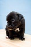 2 settimane tristi del terrier dello Staffordshire del cucciolo del toro Immagini Stock