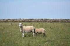 2 sheepish Στοκ Φωτογραφία
