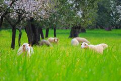 2 sheeps春天 免版税库存照片