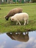 2 sheeps 免版税库存照片