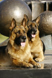 2 Shepherds. Two German shepherds on a marble plate in a big park stock images