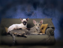 2 siamese cats on a couch Stock Photography