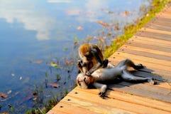 2 singes se reposent sur la voie Image libre de droits