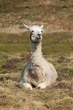 2 sitzendes lama Стоковые Изображения
