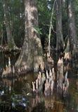 2 skalliga cypresstrees Arkivfoton