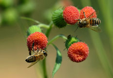 2 small honeybees. The small honeybee works industriously on the red flower Stock Image