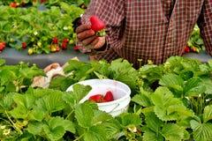 2 som är valda jordgubbar Arkivbilder