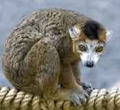 2 som krönas lemur Arkivfoto