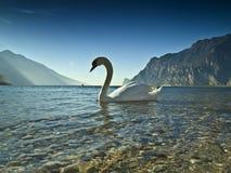 2 son cygne de lac Image libre de droits
