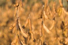 2 soybeans Royaltyfria Bilder