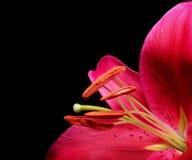 2 stargazer lilii obrazy stock