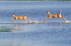2 Startled оленя через воду Стоковое Изображение RF