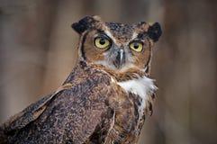 2 stora horned ingen owl Royaltyfri Fotografi