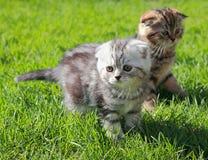 2 striped котенок играя на траве Стоковые Изображения