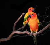 2 Sun Conures que anticipa Foto de Stock Royalty Free