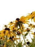 2 svart synad blomma susan Fotografering för Bildbyråer
