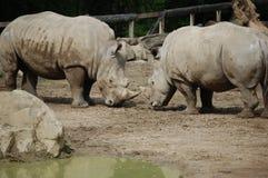 2 svarta rhinos Royaltyfri Bild