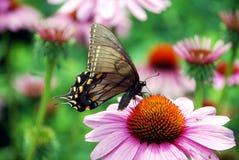 2 swallowtail 库存图片