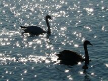 2 Swan on Body of Water Royalty Free Stock Photos
