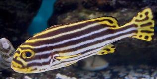 2 sweetlips рыб Стоковая Фотография