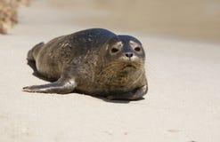 2 szczeniaka portów seal Fotografia Royalty Free