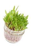2 szklana trawy dorośnięcia słoju łata Zdjęcia Stock
