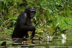 2 szympans zbiera kwiaty Obrazy Royalty Free