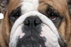 2 täta engelska gammala övre år för bulldogg Arkivbild