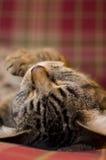 2 tło kota szkocka krata Obrazy Royalty Free