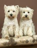 2 terriers западных гористой местности белых, 3 и половинного года Стоковые Изображения