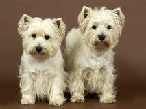 2 terriers западных гористой местности белых, 3 и половинного года Стоковые Изображения RF