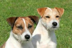 2 Terriers Рассела Стоковые Фото