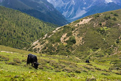 2 tibetana yak för betande högland Arkivbild