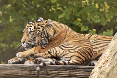 2 Tigers. Lying around and waiting for food Royalty Free Stock Image