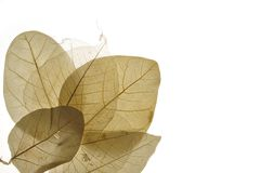 2 torkade leaves Royaltyfri Fotografi