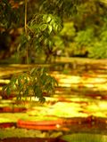 2 trädgårds- mauritius pamplemousses Royaltyfri Fotografi