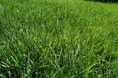 2 trawy. Obrazy Stock