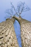 2 trees Arkivbild