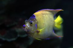 2 tropikalne ryby Zdjęcia Stock